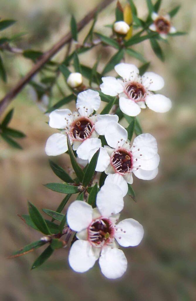 Manuka_flowers- Healthy 5